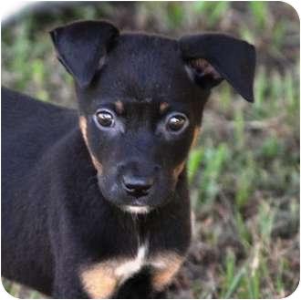 Manchester Terrier/Miniature Pinscher Mix Puppy for adoption in Largo, Florida - DOBY
