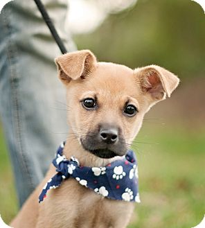 Terrier (Unknown Type, Small)/Shepherd (Unknown Type) Mix Puppy for adoption in Portsmouth, Rhode Island - Clarence