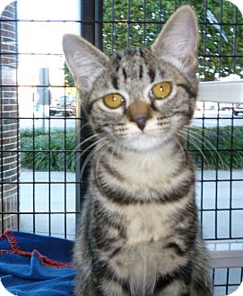 Domestic Shorthair Kitten for adoption in Tampa, Florida - Heloise