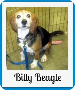 Beagle Mix Dog for adoption in Overland Park, Kansas - Billy Beagle