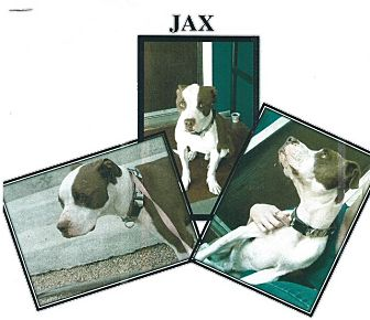 Pit Bull Terrier Mix Dog for adoption in Greeley, Colorado - Jax