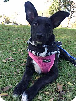 Labrador Retriever Mix Puppy for adoption in El Cajon, California - SALLY