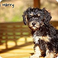 Adopt A Pet :: Dirty Harry - Albany, NY