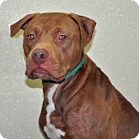 Adopt A Pet :: Diesel - Port Washington, NY