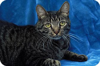 Domestic Shorthair Cat for adoption in St. Louis, Missouri - Buffkin