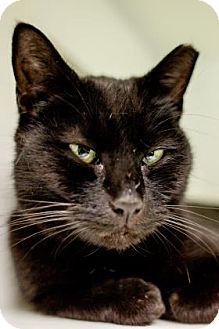 Domestic Shorthair Cat for adoption in Parma, Ohio - Sheryl Crow