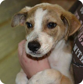 Border Collie Mix Puppy for adoption in Tampa, Florida - Dora