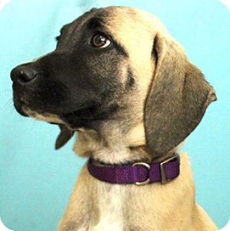 Hound (Unknown Type) Mix Puppy for adoption in Hardinsburg, Kentucky - REBA