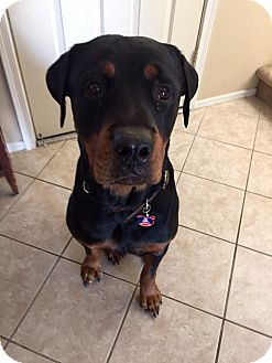 Rottweiler Dog for adoption in Gilbert, Arizona - Sampson