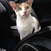 Calico Cat for adoption in Philadelphia, Pennsylvania - Momma