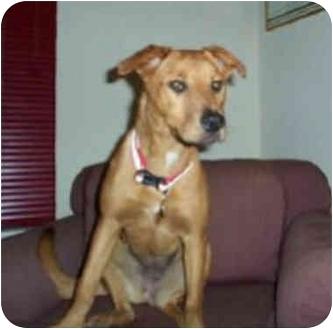 Golden Retriever/German Shepherd Dog Mix Dog for adoption in West Los Angeles, California - Roxy