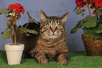 Domestic Shorthair Cat for adoption in mishawaka, Indiana - Harvey