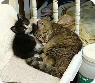 American Shorthair Kitten for adoption in Texarkana, Arkansas - Biscuit