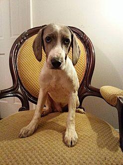 Catahoula Leopard Dog Mix Puppy for adoption in Gaithersburg, Maryland - Ryder