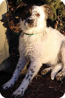 Australian Shepherd Mix Dog for adoption in Westminster, Colorado - ELIZABETH