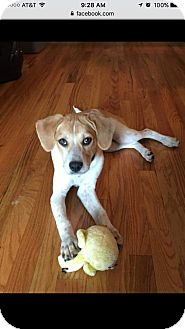 Beagle Mix Puppy for adoption in Newtown, Connecticut - Dolly
