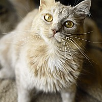 Domestic Mediumhair Cat for adoption in Marietta, Georgia - Tabitha