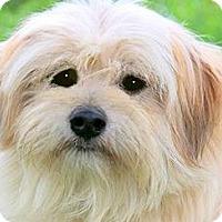 Adopt A Pet :: BENTLEY(OUR LITTLE