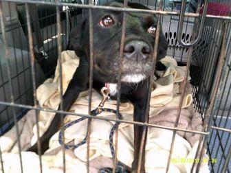 Labrador Retriever Mix Dog for adoption in Opelousas, Louisiana - Ali