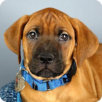 Hound (Unknown Type)/Terrier (Unknown Type, Medium) Mix Puppy for adoption in Columbia, Illinois - Olga