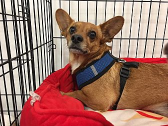 Dachshund/Chihuahua Mix Dog for adoption in Rosamond, California - Yogi