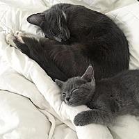Domestic Shorthair Cat for adoption in Los Angeles, California - Mia & Farrow