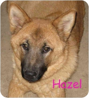 Golden Retriever/Chow Chow Mix Puppy for adoption in Poway, California - Hazel