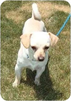 Dachshund/Pug Mix Dog for adoption in Portland, Maine - Woody (Reduced fee)
