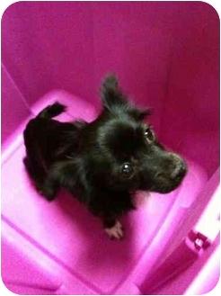 Pomeranian/Chihuahua Mix Dog for adoption in Sherman Oaks, California - Miss Kitty