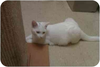 Domestic Shorthair Cat for adoption in Bartlett, Tennessee - Chase