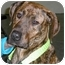 Photo 1 - Mastiff/Greyhound Mix Dog for adoption in Troy, Michigan - Peanut
