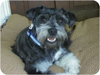 Schnauzer (Miniature) Dog for adoption in Poway, California - TRESSA