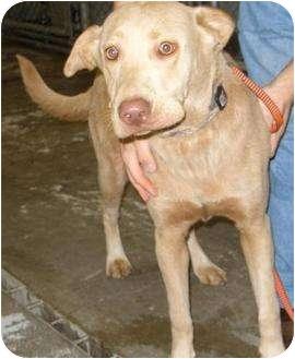 Labrador Retriever/Chesapeake Bay Retriever Mix Dog for adoption in Mt. Vernon, Illinois - Honey
