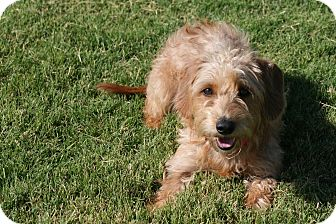 Terrier (Unknown Type, Small)/Dachshund Mix Dog for adoption in Patterson, California - Gigi