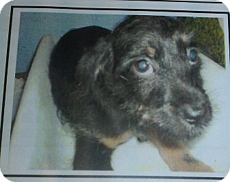 Terrier (Unknown Type, Small) Mix Puppy for adoption in Las Vegas, Nevada - Holly