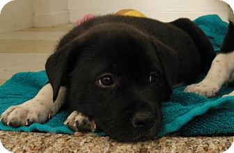 Labrador Retriever/Husky Mix Puppy for adoption in Gainesville, Florida - Willow