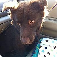Adopt A Pet :: Brownie - New Boston, NH