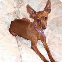 Adopt A Pet :: Princess Porsha Pinscher - Phoenix, AZ