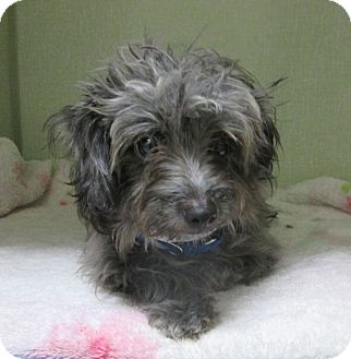 Terrier (Unknown Type, Small) Mix Puppy for adoption in Los Angeles, California - SANDOR