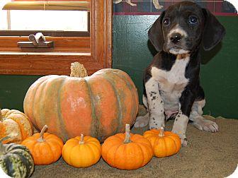 Treeing Walker Coonhound/Labrador Retriever Mix Puppy for adoption in North Judson, Indiana - Admiral