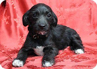Dachshund/Terrier (Unknown Type, Medium) Mix Puppy for adoption in Westminster, Colorado - GLIDE