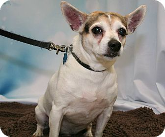 Jack Russell Terrier Mix Dog for adoption in Wichita Falls, Texas - Babe