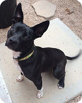 Terrier (Unknown Type, Medium)/American Pit Bull Terrier Mix Dog for adoption in Bryan, Texas - Jenga
