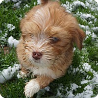 Adopt A Pet :: Liam - Ft. Collins, CO