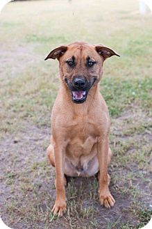 Irish Terrier Mix Puppy for adoption in Wilmington, North Carolina - Toby