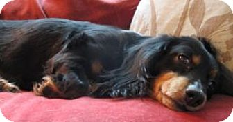 Dachshund Dog for adoption in Toronto, Ontario - Buttercup