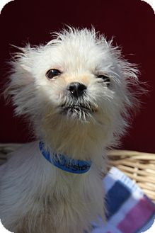 Terrier (Unknown Type, Small) Mix Puppy for adoption in Waldorf, Maryland - Westen