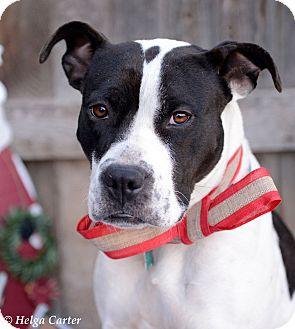 Boxer/Pointer Mix Dog for adoption in Corrales, New Mexico - Toni