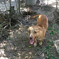 American Bulldog/American Pit Bull Terrier Mix Dog for adoption in Panama City, Florida - Axel