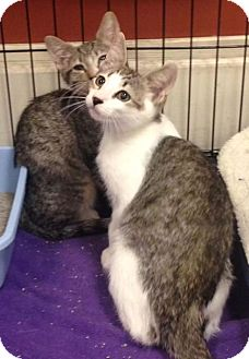 Domestic Shorthair Kitten for adoption in River Edge, New Jersey - Dempsey